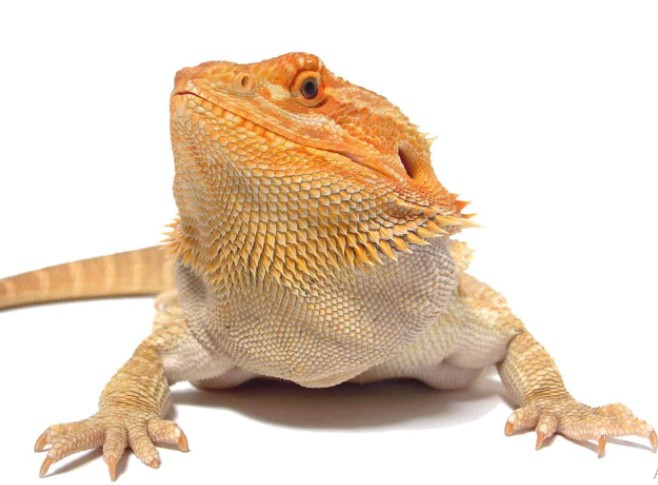 Bearded Dragon: Maintenance & Care 9