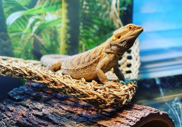 Bearded Dragon: Maintenance & Care 11