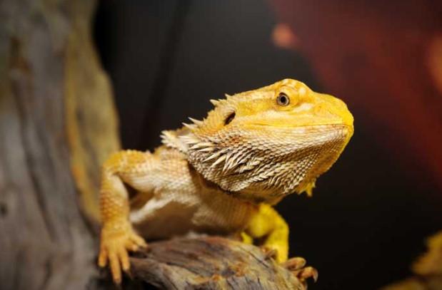 Bearded Dragon: Maintenance & Care 10