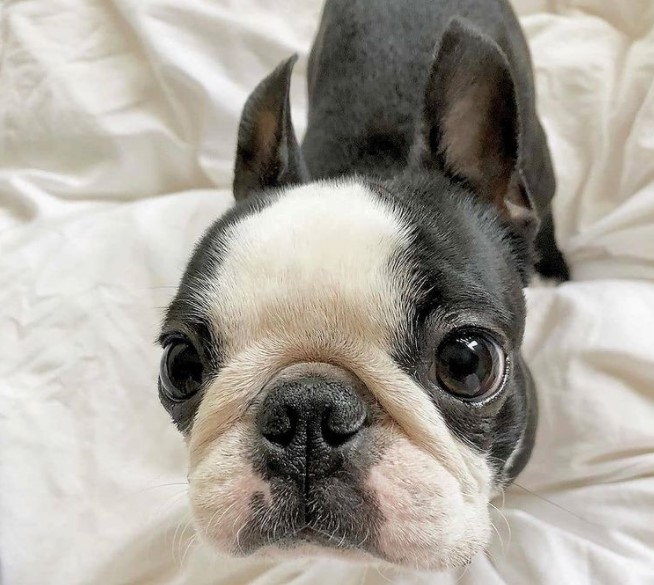 300+ Boston Terrier Dog Names: Male and Female Dog Names 14