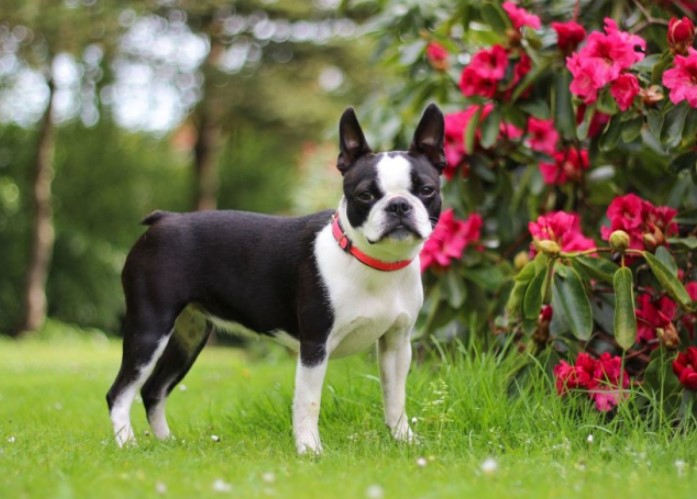300+ Boston Terrier Dog Names: Male and Female Dog Names 11