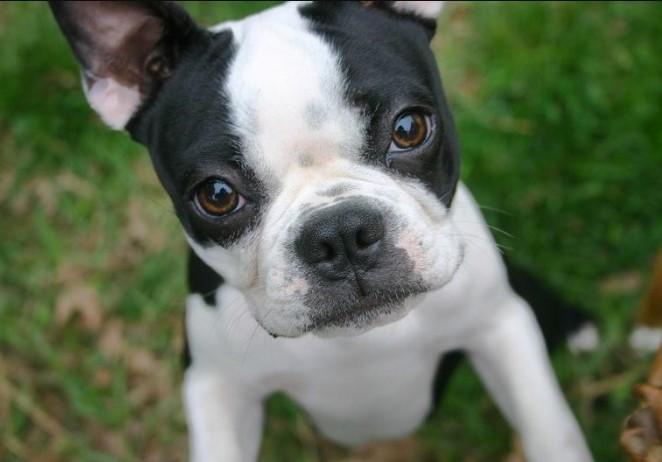 300+ Boston Terrier Dog Names: Male and Female Dog Names 12