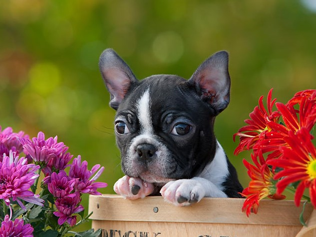 300+ Boston Terrier Dog Names: Male and Female Dog Names 15