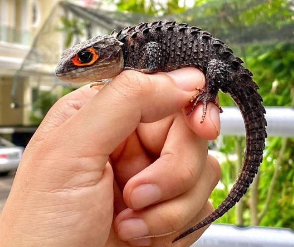 Crocodile Skink: Maintenance & Care 15