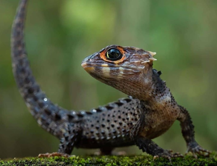 Crocodile Skink: Maintenance & Care 13