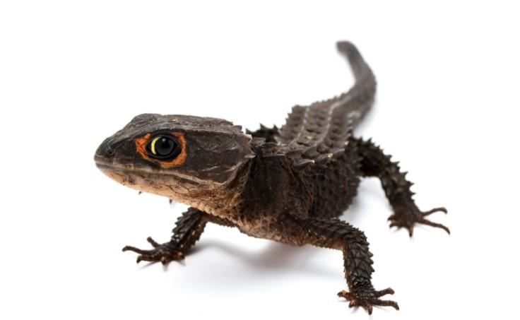 Crocodile Skink: Maintenance & Care 11