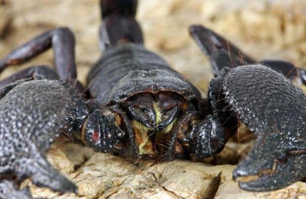 Emperor Scorpion: Species Profile 9