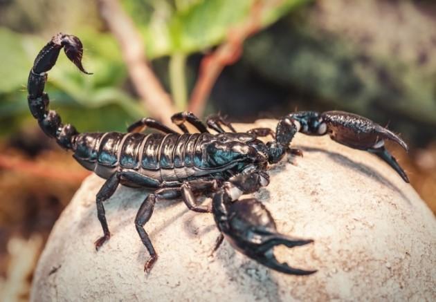 Emperor Scorpion: Species Profile 11