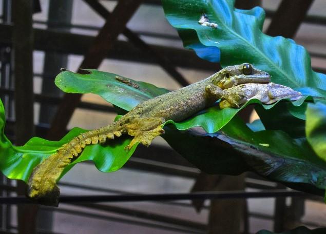 Flying Gecko: Maintenance & Care 17