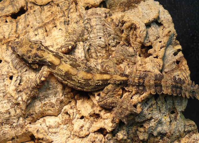 Flying Gecko: Maintenance & Care 16