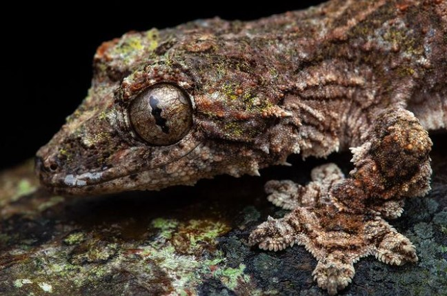 Flying Gecko: Maintenance & Care 21
