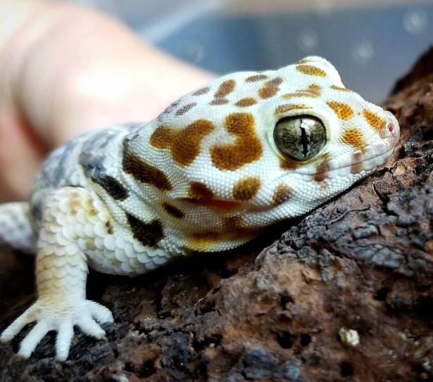 Frog-Eyed Gecko: Maintenance & Care 14