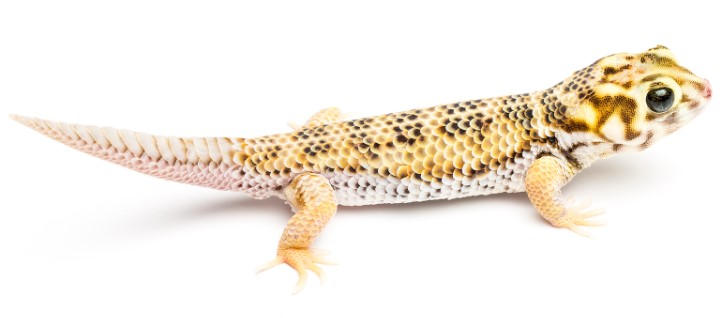 Frog-Eyed Gecko: Maintenance & Care 11