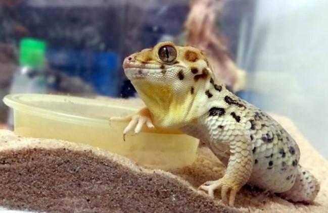 Frog-Eyed Gecko: Maintenance & Care 13