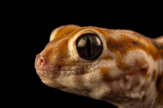 Frog-Eyed Gecko: Maintenance & Care 15