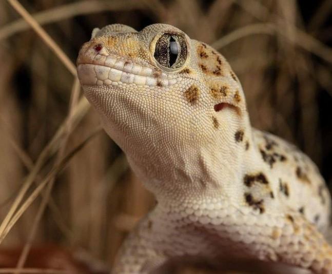 Frog-Eyed Gecko: Maintenance & Care 12