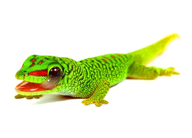 Giant Day Gecko: Maintenance & Care 9