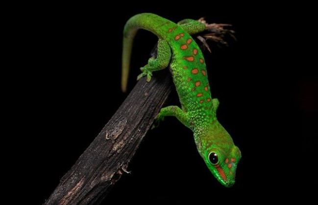 Giant Day Gecko: Maintenance & Care 10
