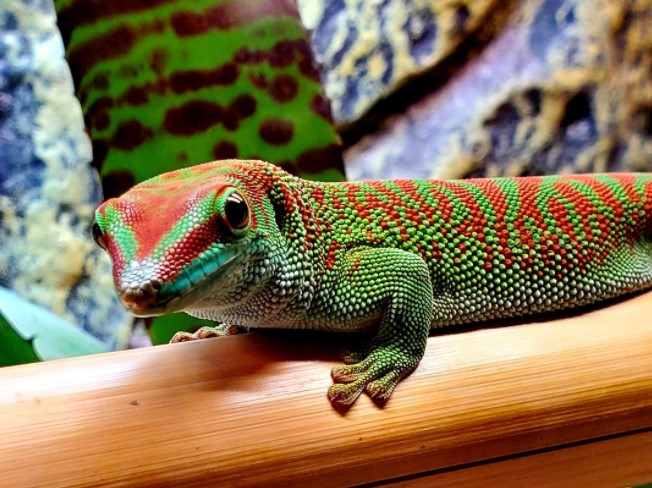 Giant Day Gecko: Maintenance & Care 11