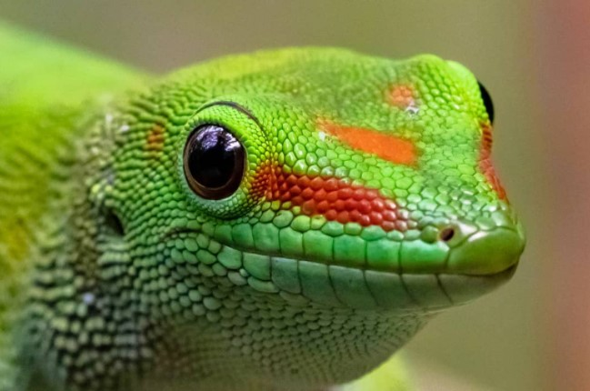 Giant Day Gecko: Maintenance & Care 12