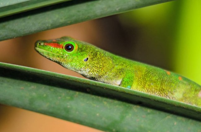Gold Dust Day Gecko: Maintenance & Care 10