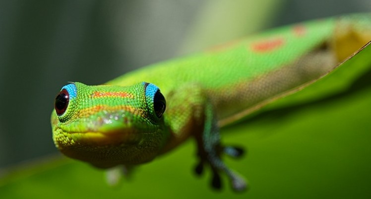 Gold Dust Day Gecko: Maintenance & Care 9