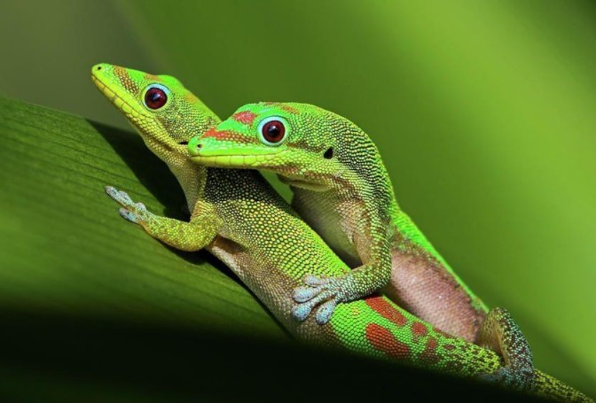 Gold Dust Day Gecko: Maintenance & Care 12