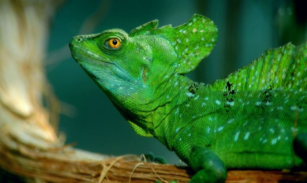 Green Basilisk: Maintenance & Care 11