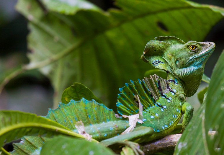 Green Basilisk: Maintenance & Care 9
