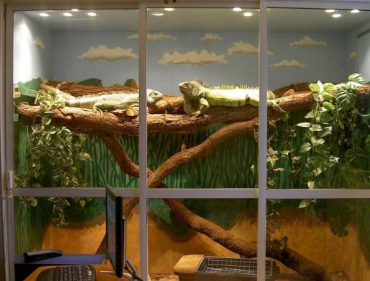 Green Iguana: Maintenance & Care 11