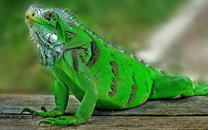Green Iguana: Maintenance & Care 10