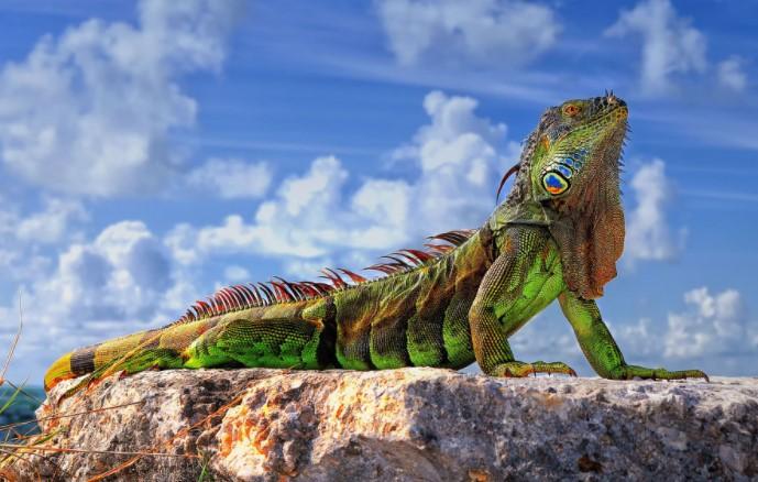 Green Iguana: Maintenance & Care 9