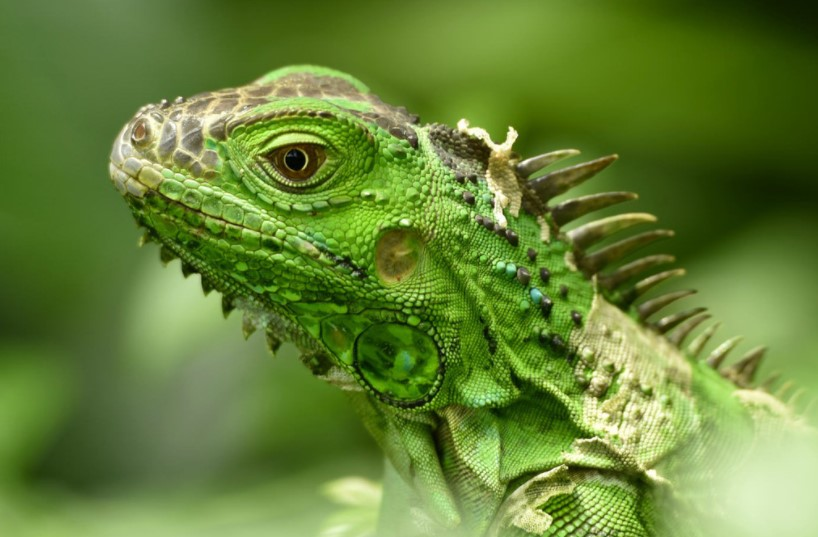 Green Iguana: Maintenance & Care 12