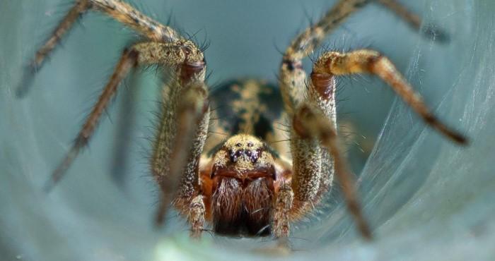 Labyrinth Spider: Species Profile 54
