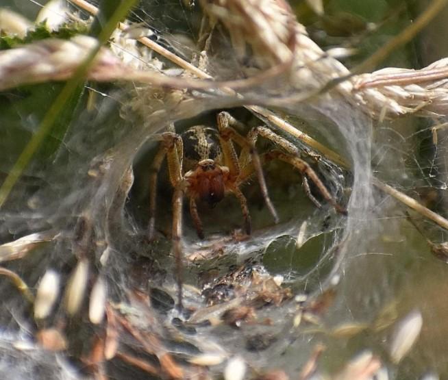 Labyrinth Spider: Species Profile 9