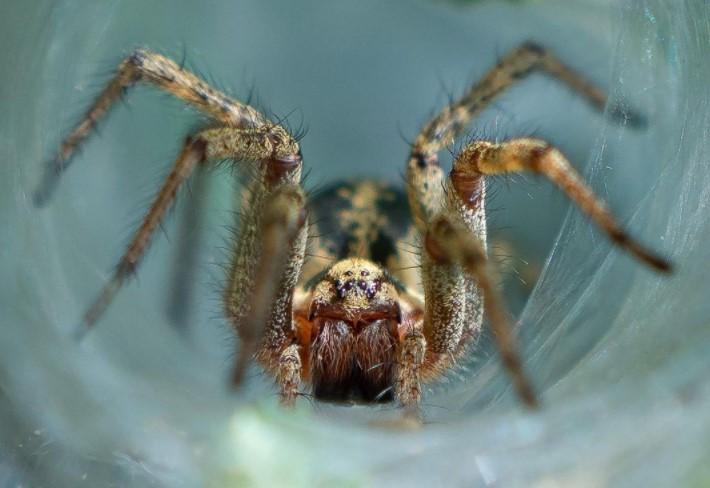 Labyrinth Spider: Species Profile 10