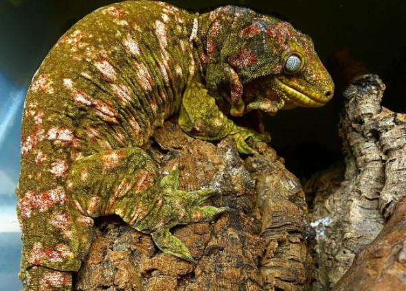 Leachie Gecko: Maintenance & Care 12