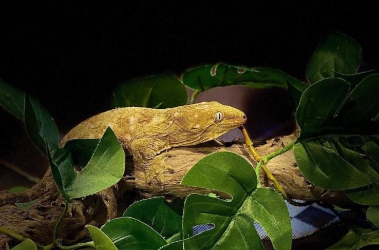 Leachie Gecko: Maintenance & Care 9