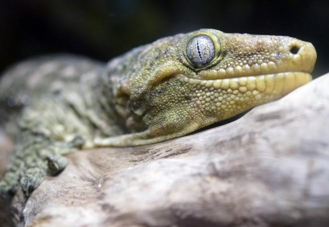 Leachie Gecko: Maintenance & Care 11