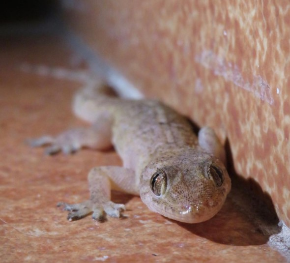 Mediterranean House Gecko: Maintenance & Care 9