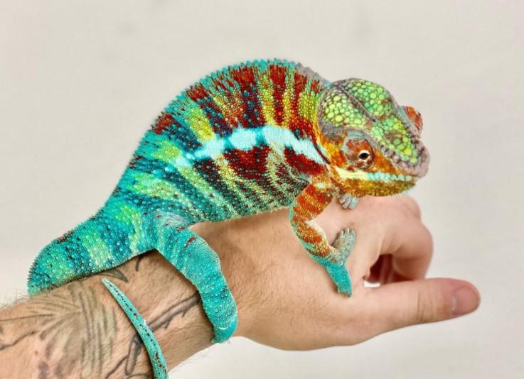 Panther Chameleon: Maintenance & Care 11
