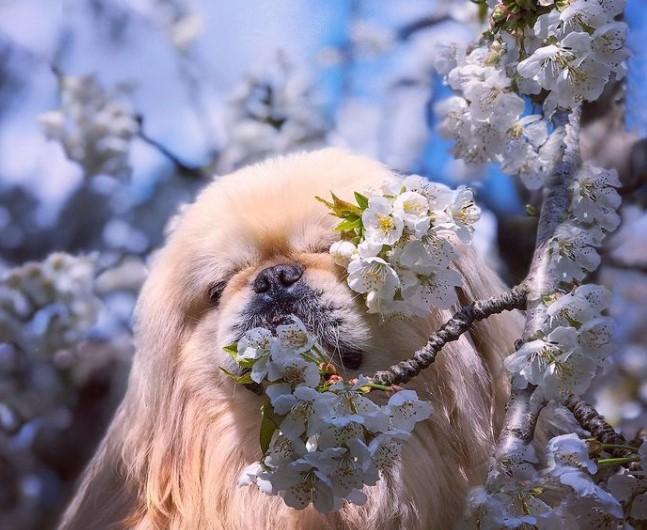 100+ Pekingese Dog Names: Male and Female Dog Names 12