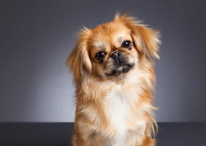 100+ Pekingese Dog Names: Male and Female Dog Names 15