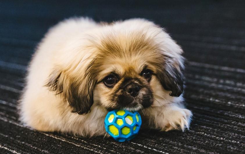 100+ Pekingese Dog Names: Male and Female Dog Names 13