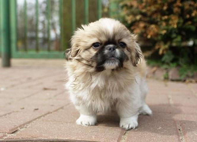 100+ Pekingese Dog Names: Male and Female Dog Names 14