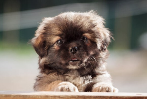 100+ Pekingese Dog Names: Male and Female Dog Names 11