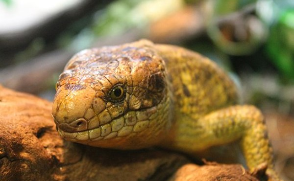 Prehensile-Tailed Skink: Maintenance & Care 12