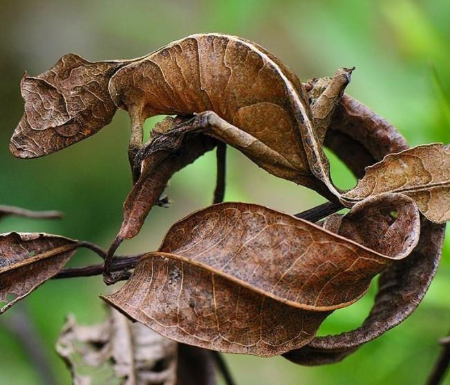 Satanic Leaf-Tailed Gecko: Maintenance & Care 9