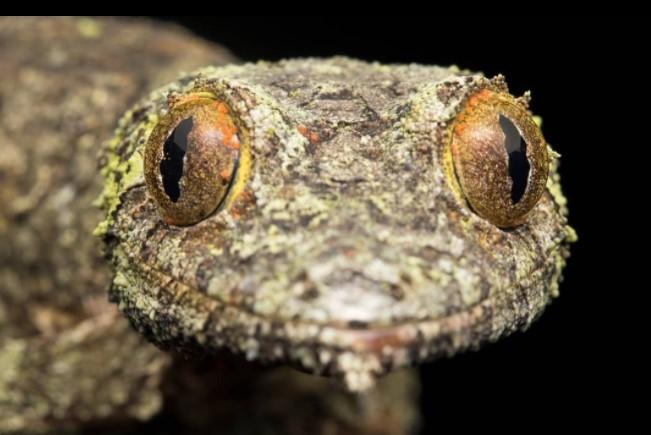 Satanic Leaf-Tailed Gecko: Maintenance & Care 11