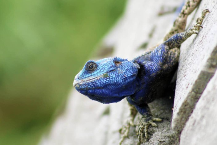 Southern Tree Agama: Maintenance & Care 11